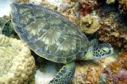 Turtle in Curacao. Taken with Nikon Coolpix 990 in Ikelit... by Brian Mayes 